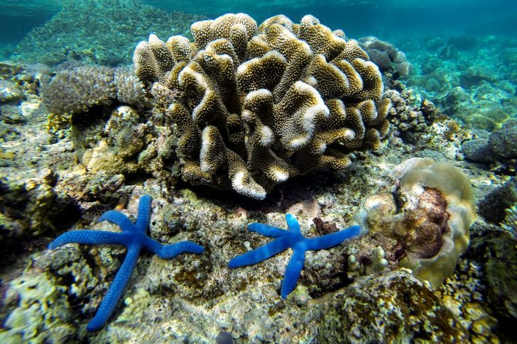 Two blue starfishes living in the coral reef of Moalboal in Philippines
